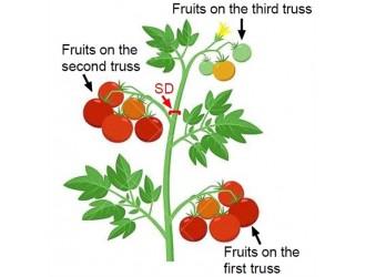 番茄茎秆变粗的要害基因被发觉