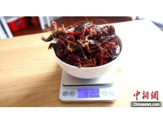 1千克小龙虾最□多可少5克 上海市场监管部门提醒市民注意防范