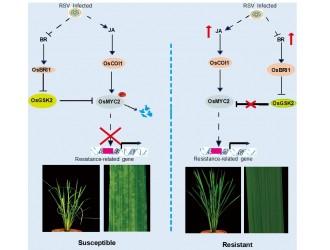 中国农业科学院作物科学研究所万建民院士团队解析水稻抗条纹叶枯病新机制