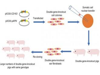 中国农业科学院北京牧医所获得全球首例抗三种重大疫病猪
