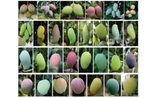 中国热科院发布芒果精细基因组图谱 揭示芒果进化和驯化机制