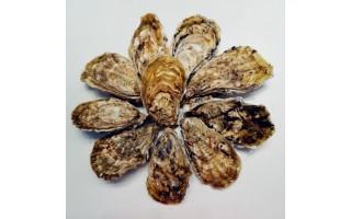 """中国科学院海洋研究所喜获高营养品质新品种长牡蛎""""海蛎1号"""""""