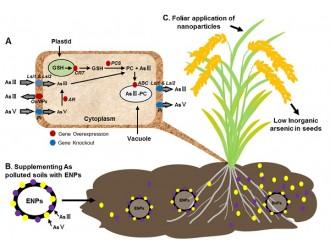 无机砷毒性机制及其缓解策略提升稻米安全品质