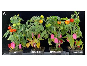内蒙古番茄发育基础研究取得新成果