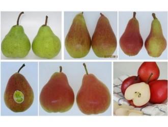 梨哥说梨 | 南半球西洋梨生产与出口情况