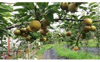 福建山地梨早熟新品种避雨栽培技术