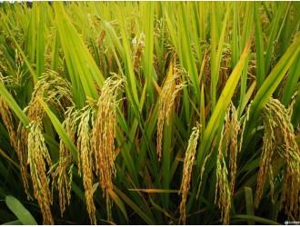 长江大学两个杂交水稻新品种通过湖北省审定