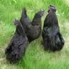 供应绿壳蛋鸡