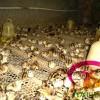 广东野鸡,广东野鸡苗,广东贵妃鸡,广东珍珠鸡,广东绿壳蛋鸡