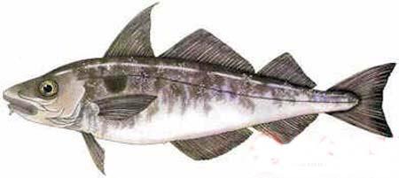 鳕鱼 鳕鱼片图片