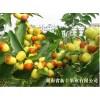 供应优质中秋酥脆枣枣苗、枣树盆栽、枣果