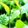 长沙睿鼎-普洱茶提取物