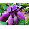 紫红薯提取物 黑红薯提取物