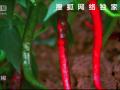 中国美食探秘第3集:辣 (198播放)