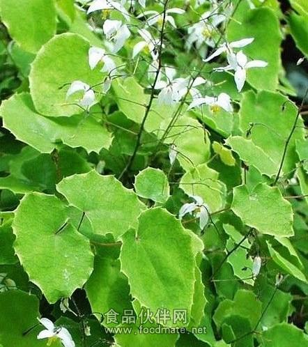 紫杉树叶矢量素材