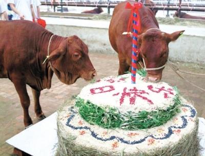 """牛在吃""""生日蛋糕"""""""