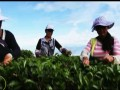 茶缘天下第二集:滇之红