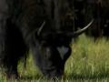 湿地环境好 牦牛有市场 (10播放)