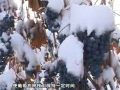 冰葡萄栽培管理技术 (23播放)