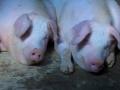 北方135高效保健养猪新技术(二) (13播放)