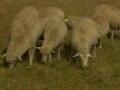 德国肉用美利奴羊养殖技术 (18播放)