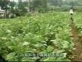 雪莲果栽培技术 (30播放)