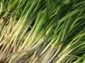 独根红韭菜栽培技术 (38播放)