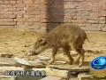 发酵床上养野猪 (14播放)