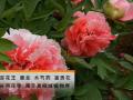 中药材牡丹的栽培技术 (9播放)
