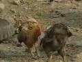 果林里的鸡群 (22播放)