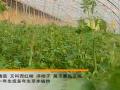 保护地专用番茄品种 (12播放)
