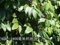 药食两用香辛作物——胡椒 (73播放)