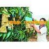 芒果果袋机厂家 芒果袋机器