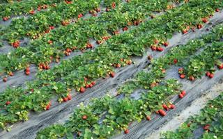 乙草胺超标7倍,草莓还能吃吗?