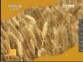 [农广天地]小麦良种田管理技术 (12播放)