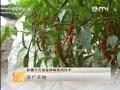 [农广天地]新疆日光温室辣椒栽培技术