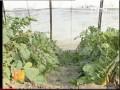 [农广天地]温室白萝卜栽培技术 (17播放)