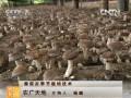 [农广天地]香菇反季节栽培技术