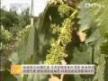 [农广天地]如何提高葡萄坐果率和均匀度 (15播放)