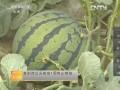 [农广天地]如何提高大棚西瓜的甜度 (51播放)