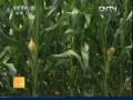 [农广天地]夏玉米花粒期管理技术 (13播放)