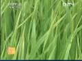 [农广天地]水稻白叶枯病的识别与防治 (16播放)