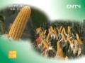 [农广天地]北方玉米种植品种介绍 (36播放)