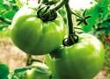 吃没成熟的青番茄会中毒吗?