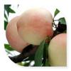 水蜜桃粉 水蜜桃喷雾干燥粉水蜜桃速溶粉