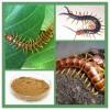 蜈蚣浓缩粉 蜈蚣提取物