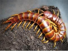 蜈蚣提取物  天龙提取物粉  天虫提取物 厂家直销质量稳定