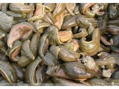 水蛭提取物  马蛭提取物  肉钻子提取物  厂家直销质量稳定