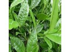 绿茶提取物  茶氨酸20-30%