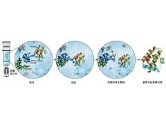 重组蛋白、重组抗体